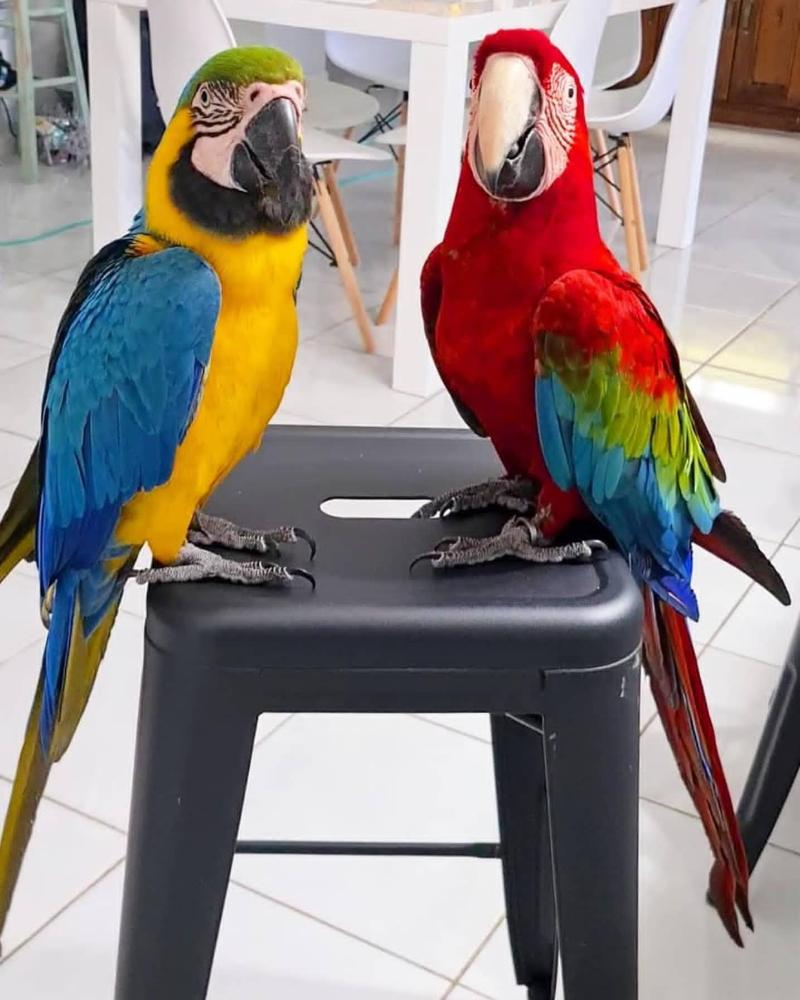 Awesome Macaw Parrots For Rehoming